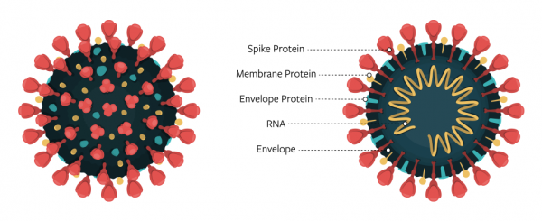 A diagram of the virus that causes COVID-19.